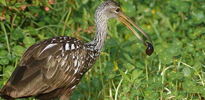 Limpkin by Meaghan Manning
