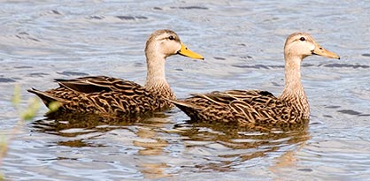 Florida mottled ducks occur only in peninsular Florida by Andy Wraithmell.