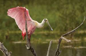 Roseate spoonbill perching on limb with wings spread.