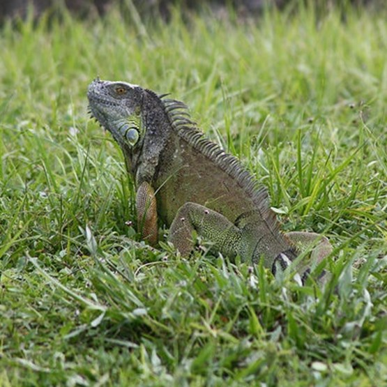 Green Iguana sitting in grass