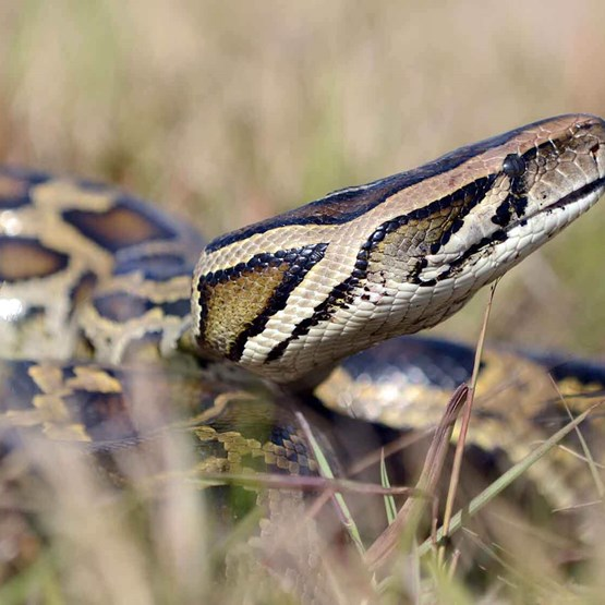 burmese python in the grass