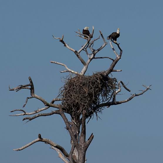 Bald eagles on a nest