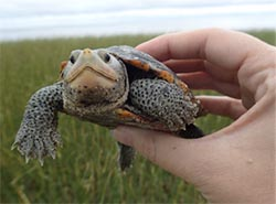 Ornate diamondback terrapin
