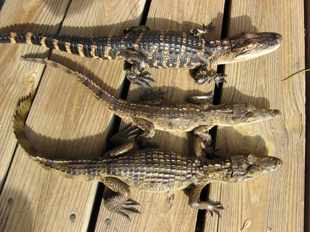 Showing difference between alligator, crocodile, and caiman
