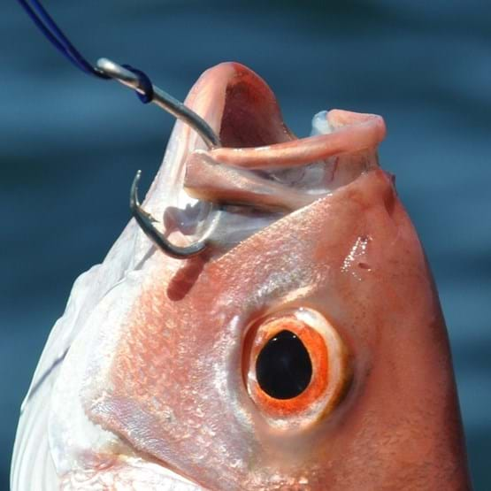 Photo of circle hook in a vermilion snapper