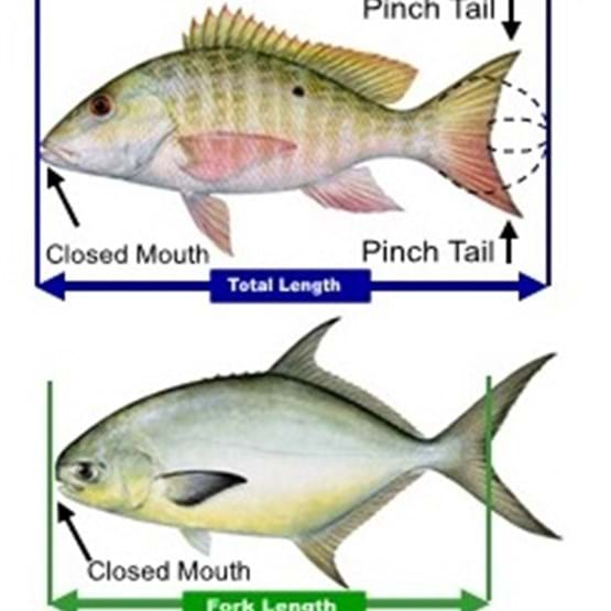 Saltwater Fish Measurement Diagram
