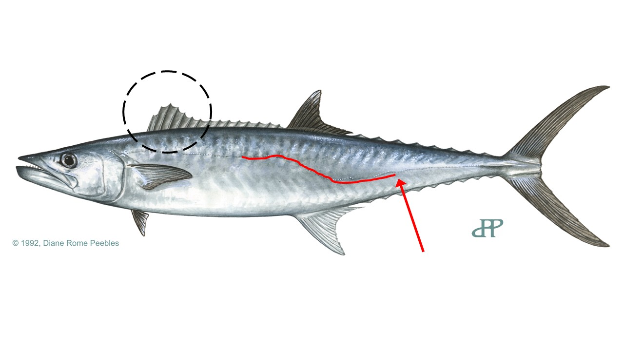 Illustration of a king mackerel showing important characteristics
