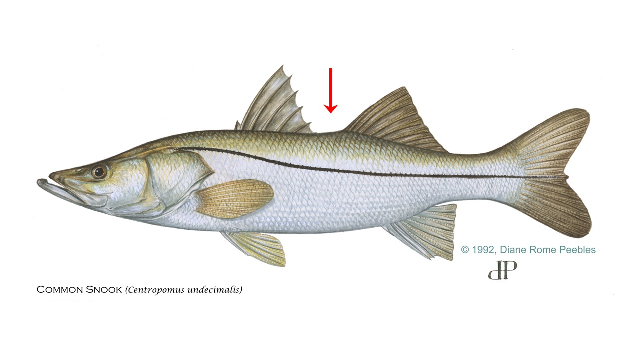 Illustration of a common snook showing important characteristics