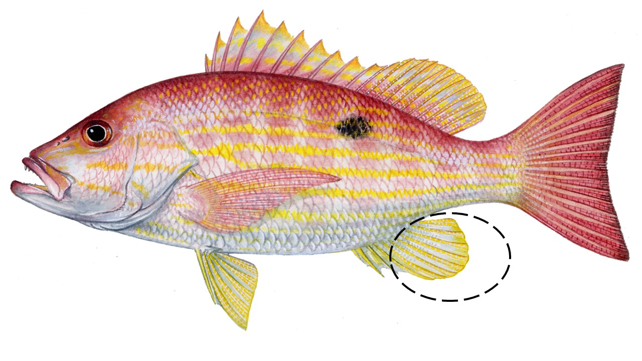 Illustration of a lane snapper showing important characteristics