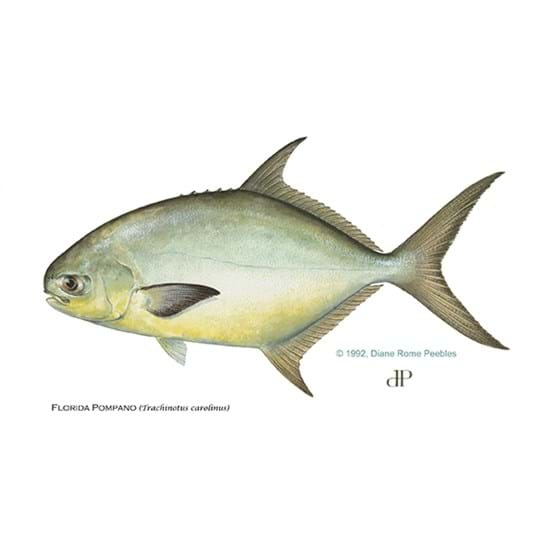 Drawing by Diane Rome Peebles of a Florida pompano