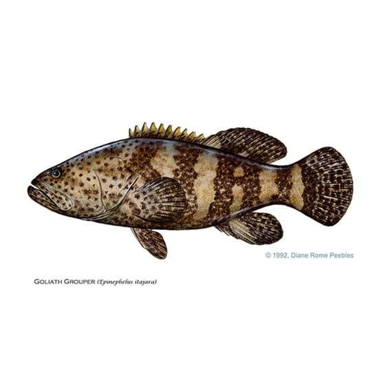 Drawing by Diane Rome Peebles of a goliath grouper