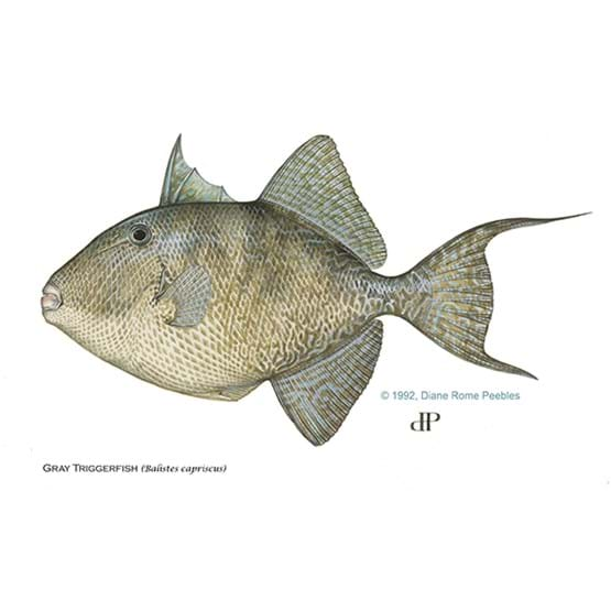 Drawing by Diane Rome Peebles of a gray triggerfish
