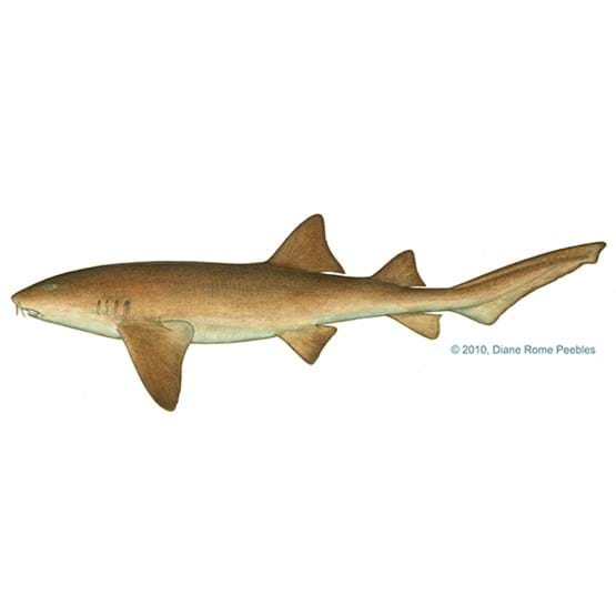 Drawing by Diane Rome Peebles of a nurse shark