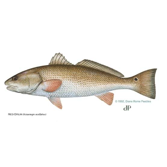 Drawing by Diane Rome Peebles of a red drum