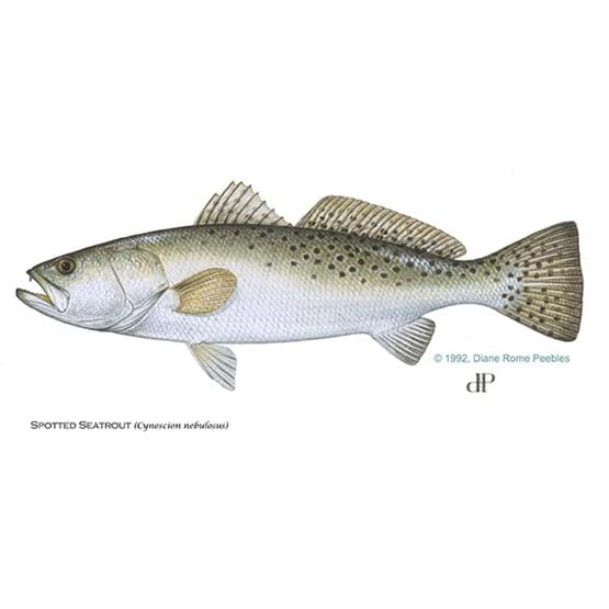 Drawing by Diane Rome Peebles of a spotted sea trout