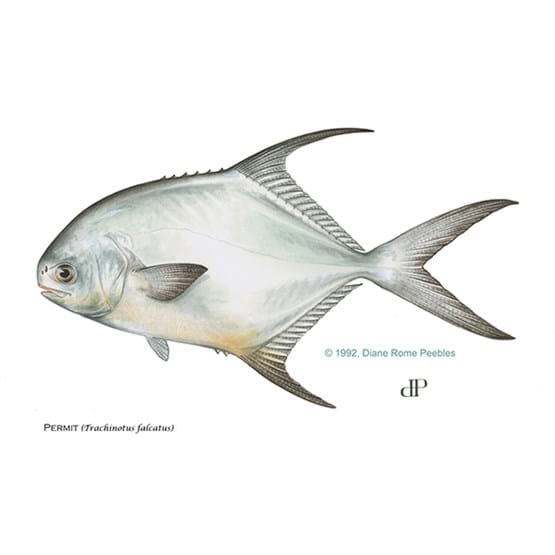 Drawing by Diane Rome Peebles of a permit