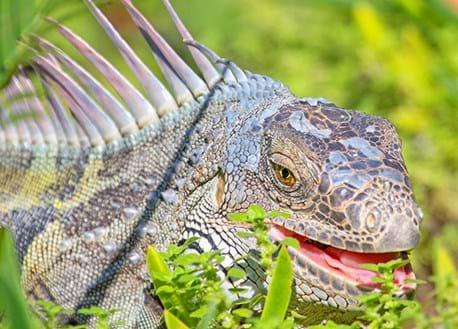 photo of a green iguana