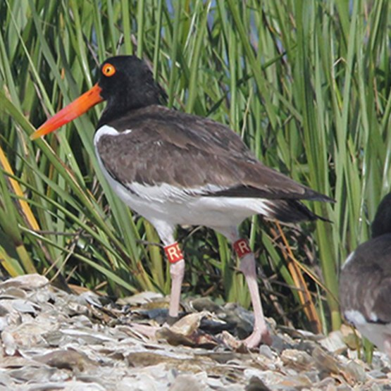 photo of an oystercatcher with a tag on its leg