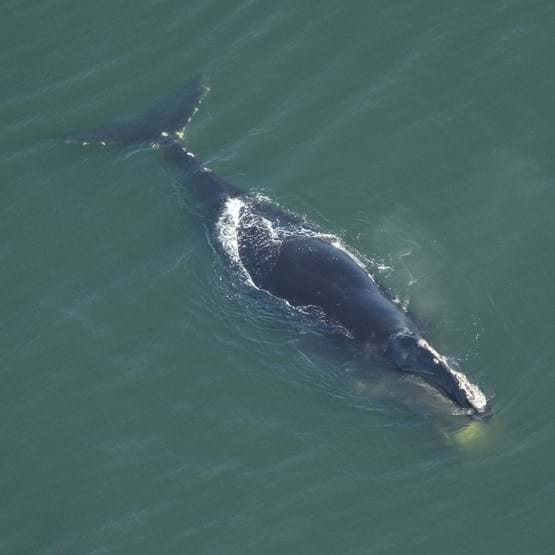 Aerial image of a right whale