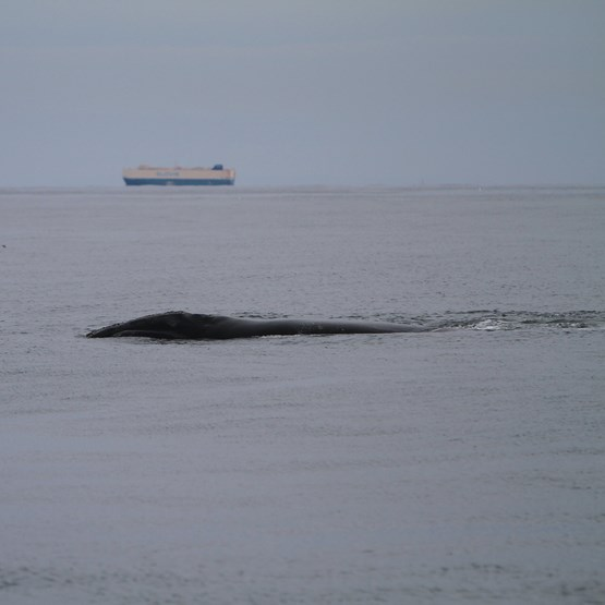 Image of a right whale near large vessel
