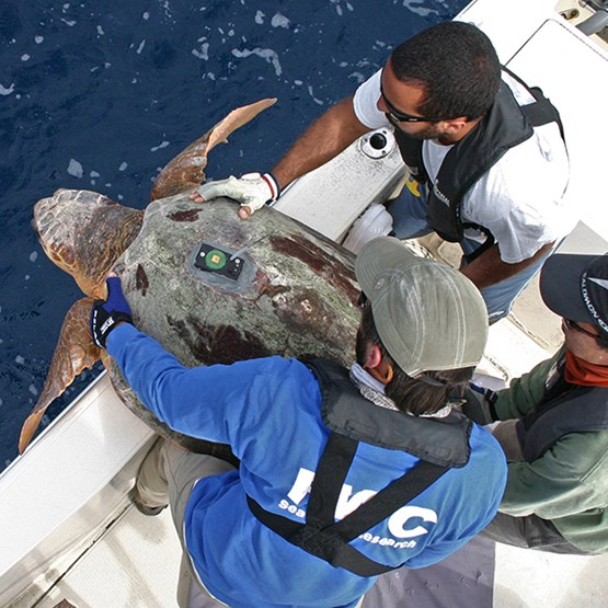 men releasing a tagged turtle off boat into water