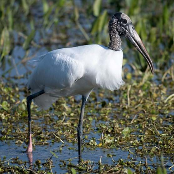 Photo of a wood stork in water
