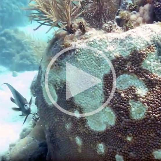 underwater footage of coral tissue disease at hen and chickens reef
