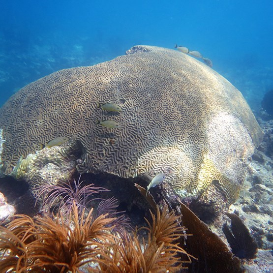 a large coral with signs of tissue loss disease