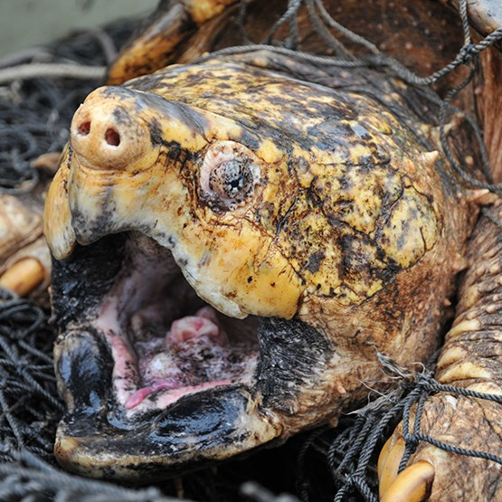 photo of an alligator snapping turtle
