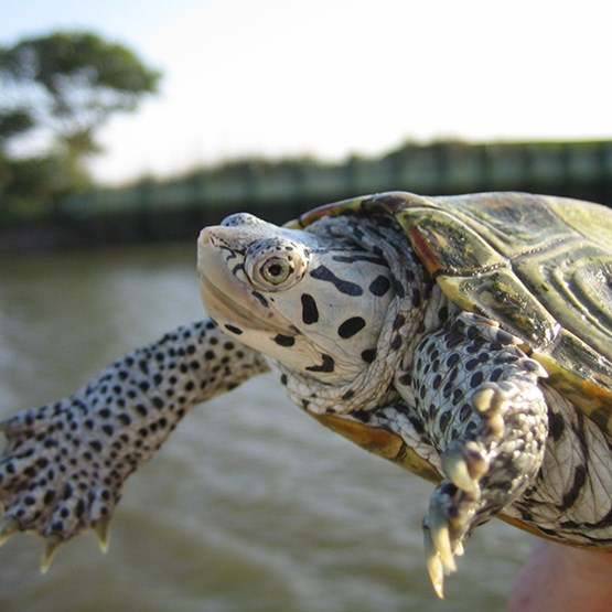 photo of a diamondback terrapin