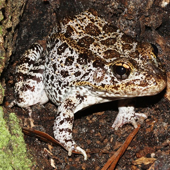 photo of a gopher frog