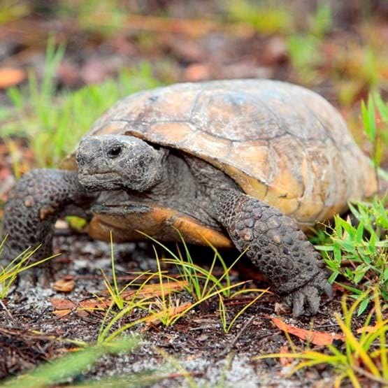 photo of a gopher tortoise