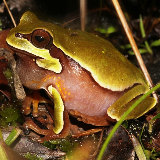 photo of a pine barrens frog