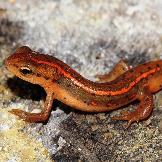 photo of striped newt