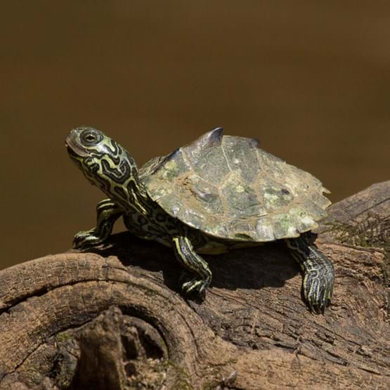 yearling Barbour's Map Turtle