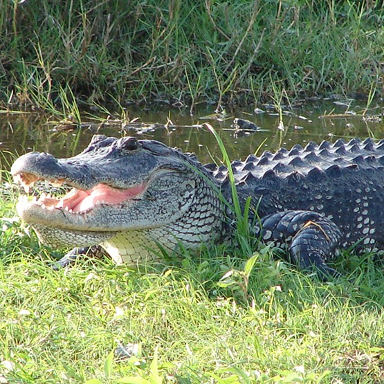 an alligator laying in grass