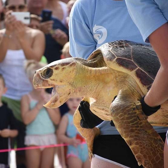 Audience watching a rehabilitated sea turtle release.
