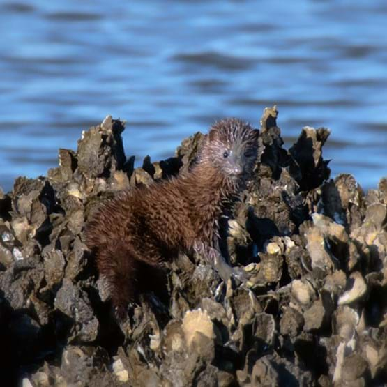 mink standing on an oyster bar
