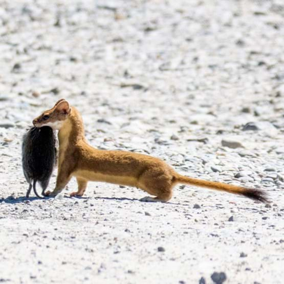 a weasel on the beach holding a dead animal in mouth