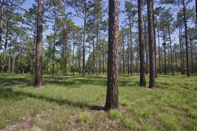 Longleaf pines and wiregrass