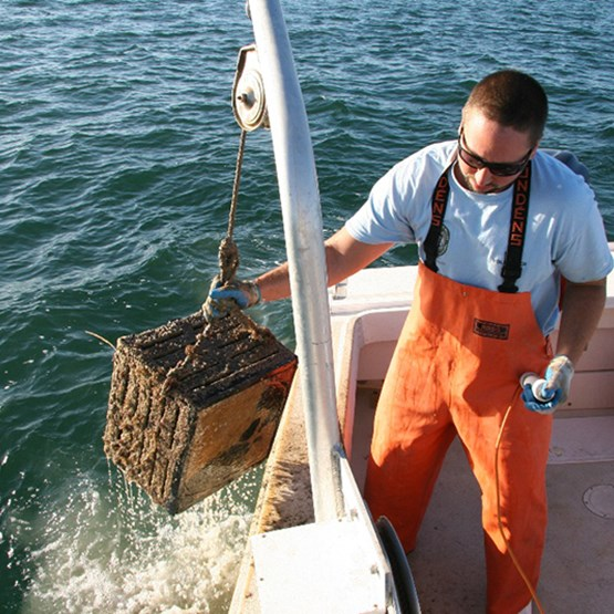 a researcher pulls up a stone crab trap