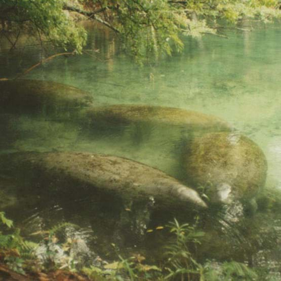 Group of manatees in Homosassa Springs