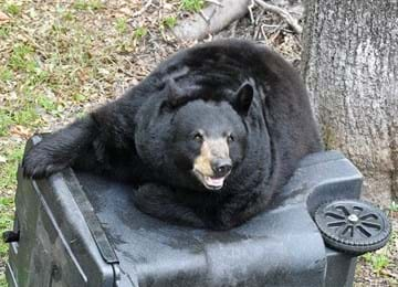 Florida black bear on top of garbage container