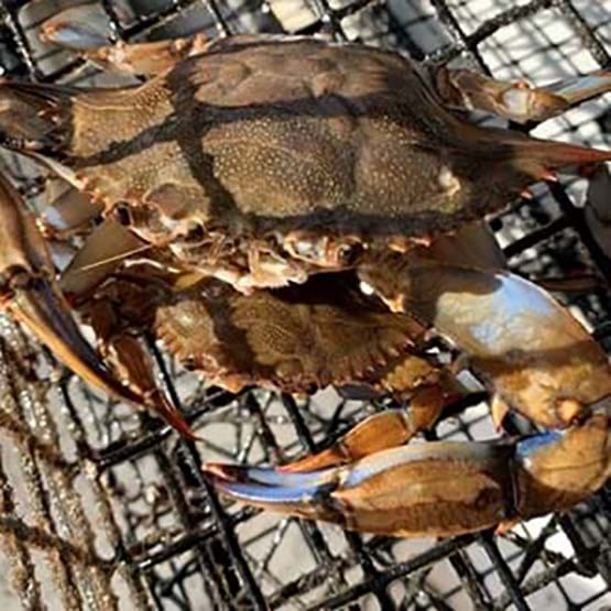 blue crabs in trap