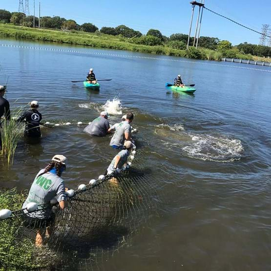 people pulling manatee in net to shore