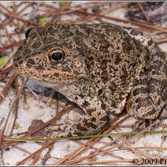 adult gopher frog by Pierson Hill