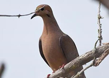 close up of mourning dove