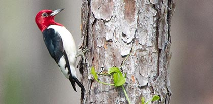 close up of red-headed woodpecker