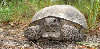 Gopher Tortoise close up