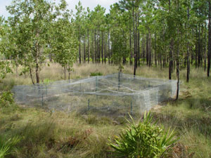 An enclosure in the woods protects hatchling gopher tortoises from predators